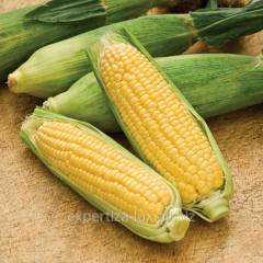 Hybrid of corn of VASILI of the Maїsadour company