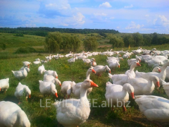 Geese of house cultivation, poultry in Kharkiv