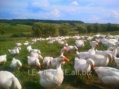 Гуси живые, домашние птицы, откормленные гуси