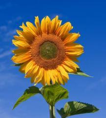 Sunflower seeds Mas 83.R / Mac 83.R