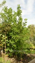Plane tree sapling
