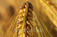 Wheat infraproteins