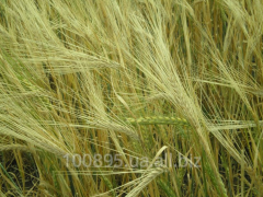 Barley Commodore Elita / 1р
