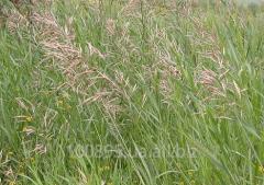 Семена кормовых трав Костер безостий
