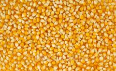 Семена кукурузы Днепровськой 181