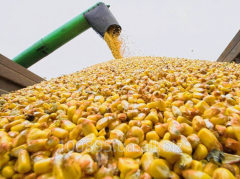 Семена кукурузы ТРУАЗИ