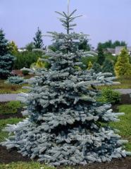 Hoopsi fir-tree