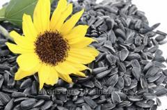 Sunflower seeds Mas 94.C / Mas 94. With
