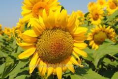 Sunflower seeds Mas 97.OL / Mas 96.OL