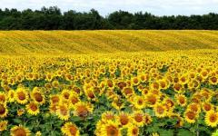 Sunflower seeds Mas 95.IR / Mas 95. І P
