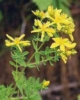 The St. John's Wort which is made a hole a grass