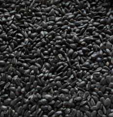 Seeds of sunflower 64 F 50