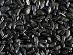 Seeds of sunflower 64 A 89
