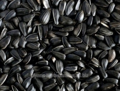 Seeds of sunflower 64 E 71