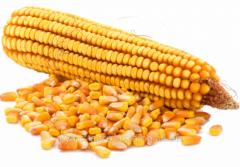 Seeds of corn 39 R 20