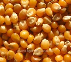 Seeds of corn 38 N 86