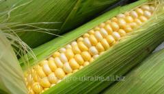 Seeds of corn 37 N 01