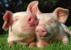 Premix of 2% for sagination of pigs weighing