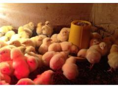 Инкубационное яйцо Кобб 500