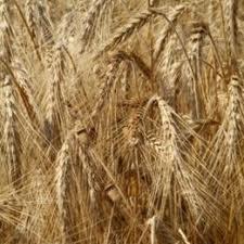 Зерно, зерновые продам