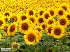 Семена подсолнечника  Сингента Формити /насіння соняшнику Сингента Фортімі