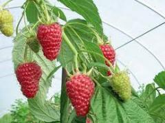 Raspberry saplings FALL of TREASURES (AUTUMN