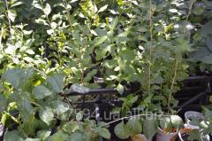 Godzha saplings