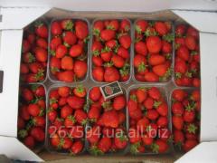 DIGNITY strawberry saplings ANDREAS (SAN ANDREAS)