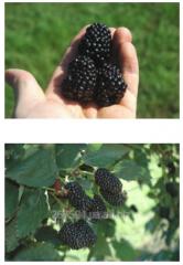 "Blackberry saplings ""Praymarkfrid"