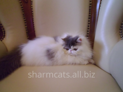 Cat the Persian, extreme type, van with blue free