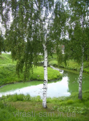Birch saplings (from 1.5 m and above)