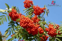 Saplings of the Mountain ash red