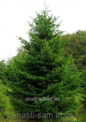 Saplings of the Fir-tree ordinary (height of 1 m)