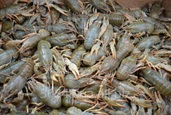 Crabs live fresh wholesale and retail sales all