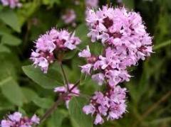 Marjoram (oregano), Medicinal plants