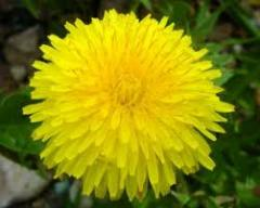 Dandelion r