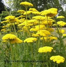 To order yarrow, herbs medicinal