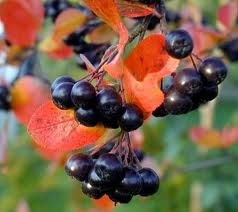 Chokeberry fruits