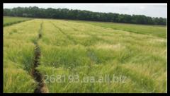 Barley summer Patrician Elita