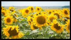 Sunflower decorative World Grade Elite