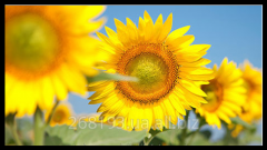 Sunflower decorative Solar nastriya