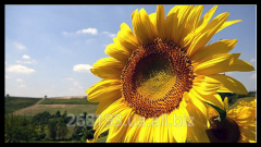 Sunflower commodity the Ukrainian sun - the
