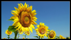 Sunflower fodder seeds Matador