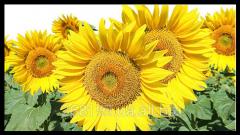 Sunflower seeds of Armagedon-Standard