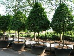 Дизайн: Посадка деревьев и кустарников, живые