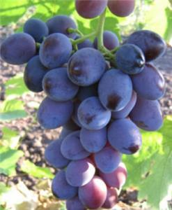 Саженцы винограда. Виноград Атаман Павлюк.