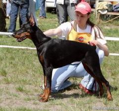 Dobermann terriers, dogs and puppies. Breeding