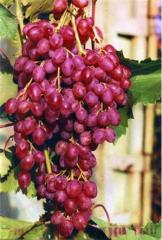Grapes saplings. Grapes Velez sultana grape (Sofia