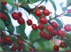 Саженцы Гуми. Высоковитаминная культура с плодами