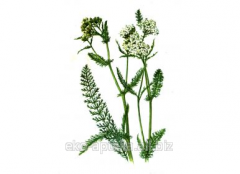 Concentrated extract of a yarrow, 30 ml